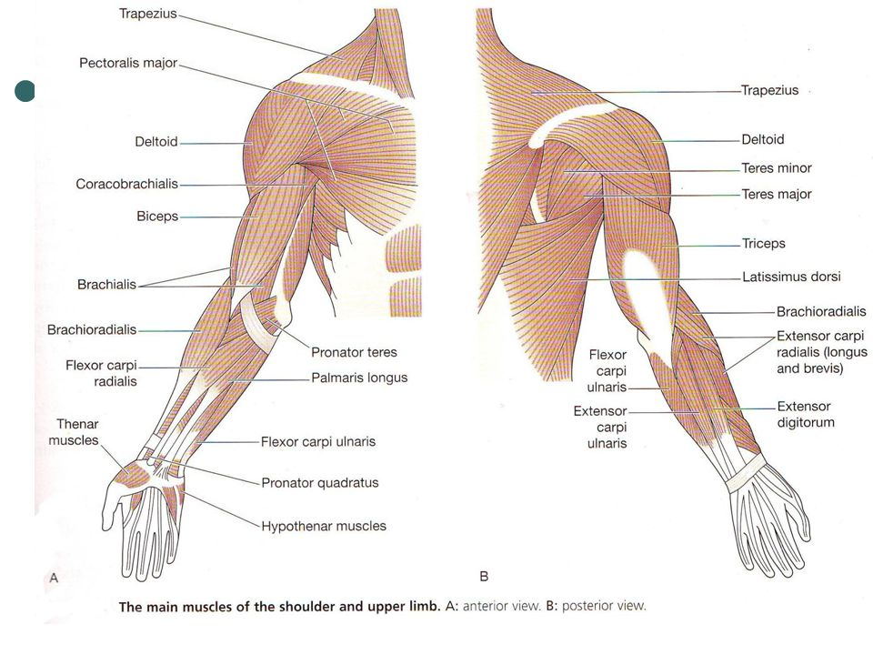 14 major muscles of the hand and arms muscle flexor carpi radialis  brachioradialisextensor digitorum biceps position anterior forearmposterior  forearm