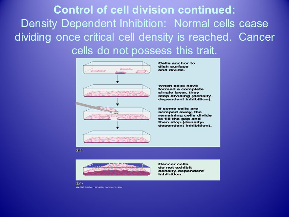 Control of cell division continued: Density Dependent Inhibition: Normal cells cease dividing once critical cell density is reached.