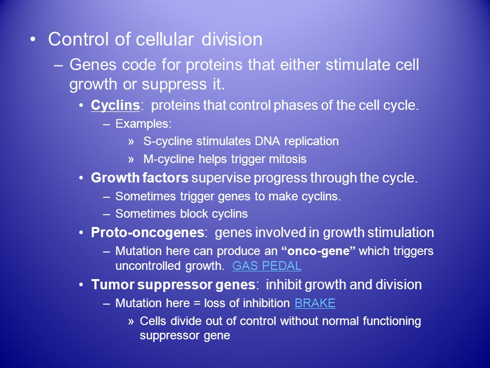 Control of cellular division –Genes code for proteins that either stimulate cell growth or suppress it.