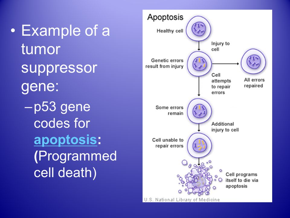 Example of a tumor suppressor gene: –p53 gene codes for apoptosis: (Programmed cell death) apoptosis