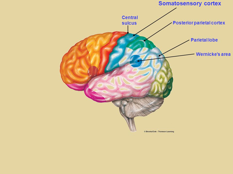 The cerebral cortex has four lobes, each is specialized for ...