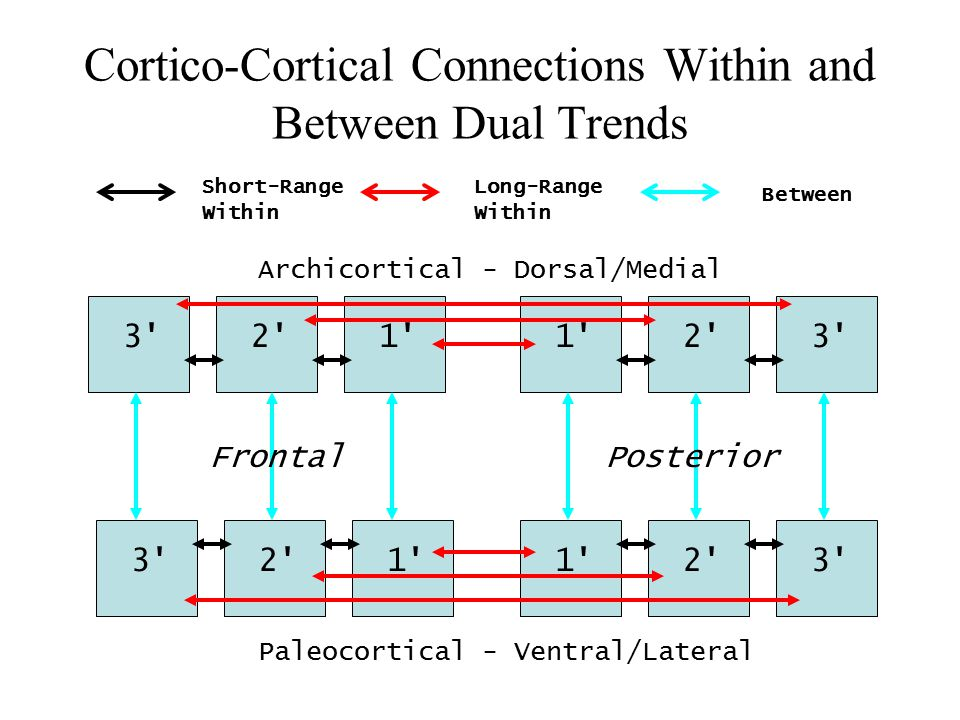 Cortico-Cortical Connections Within and Between Dual Trends 1 2 3 2 1 2 3 2 1 Short-Range Within Long-Range Within Between Archicortical - Dorsal/Medial Paleocortical - Ventral/Lateral PosteriorFrontal
