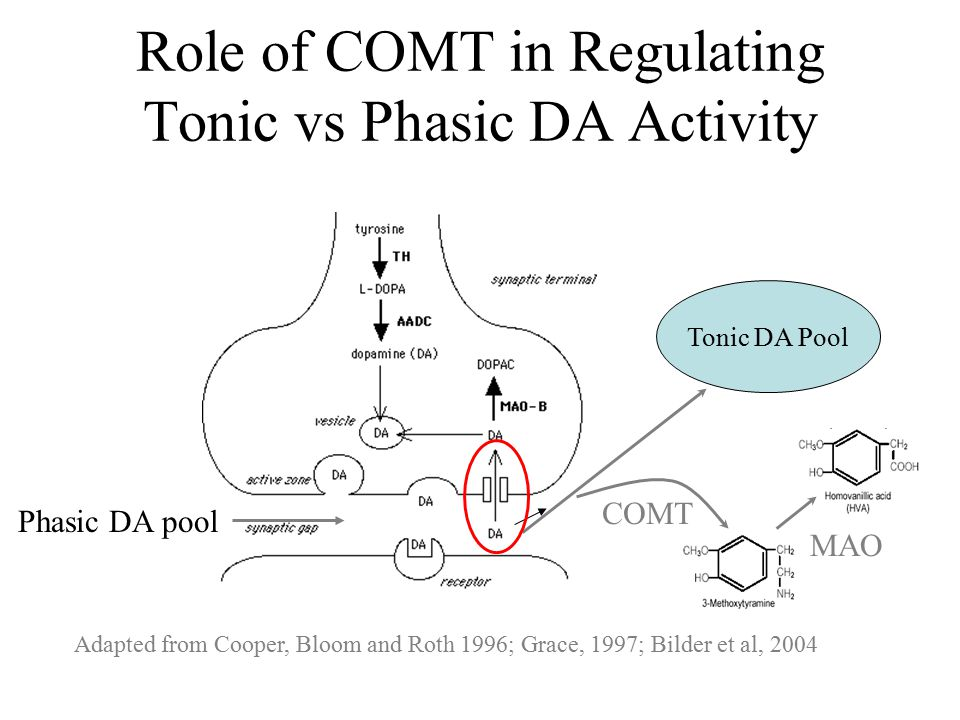 Adapted from Cooper, Bloom and Roth 1996; Grace, 1997; Bilder et al, 2004 COMT Tonic DA Pool MAO Phasic DA pool Role of COMT in Regulating Tonic vs Phasic DA Activity