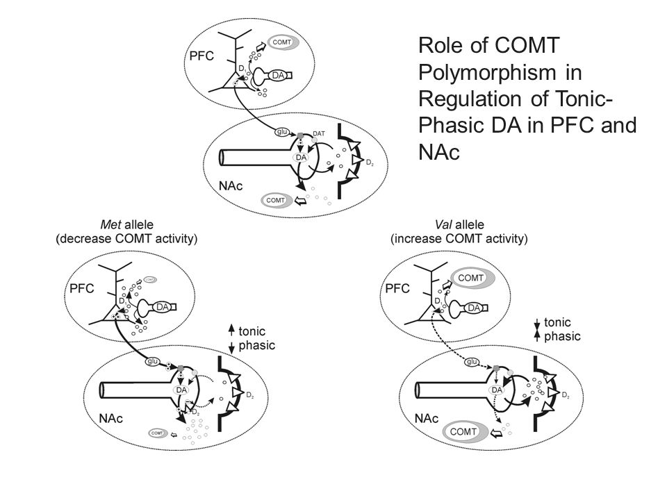 Role of COMT Polymorphism in Regulation of Tonic- Phasic DA in PFC and NAc
