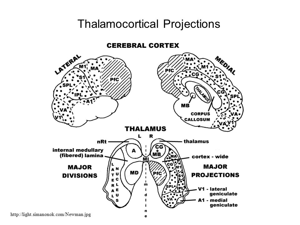 Thalamocortical Projections http://light.simanonok.com/Newman.jpg