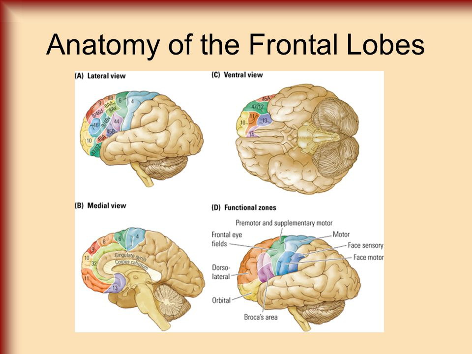 Cortical Structure And Function Frontal Lobe Anatomy Of The Frontal