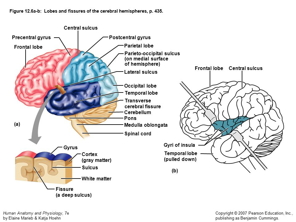 Neuroanatomy For Exam 1 Basic Brain Anatomy Lange Biology