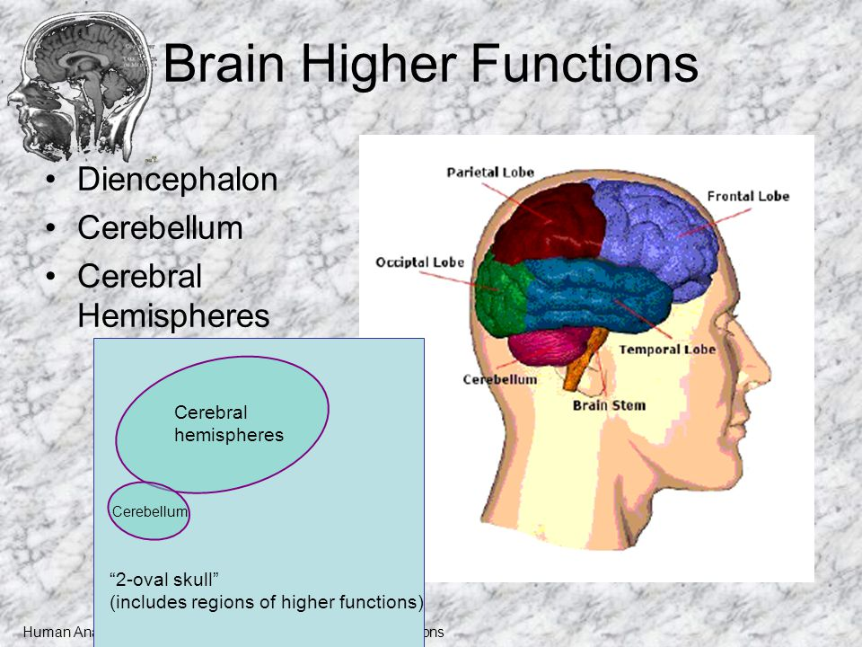 Human Anatomy and Physiology I, Frolich, Higher Brain Functions ...