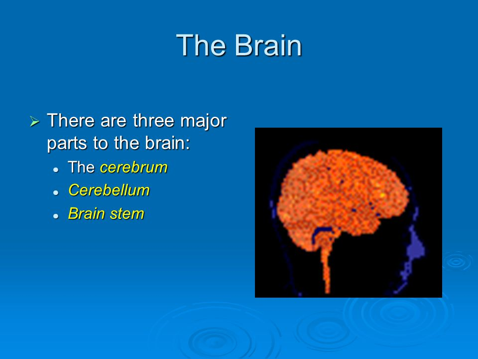 The Brain  There are three major parts to the brain: The cerebrum The cerebrum Cerebellum Cerebellum Brain stem Brain stem