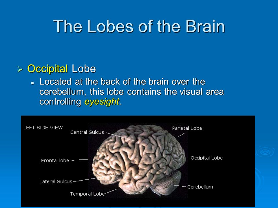 The Lobes of the Brain  Occipital Lobe Located at the back of the brain over the cerebellum, this lobe contains the visual area controlling eyesight.