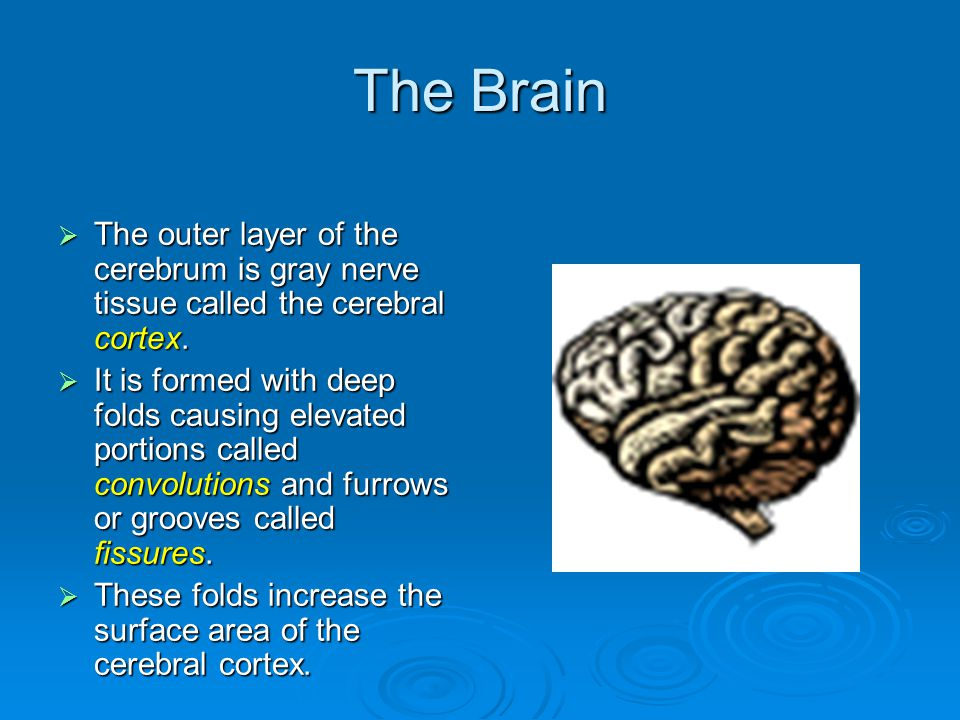 The Brain  The outer layer of the cerebrum is gray nerve tissue called the cerebral cortex.