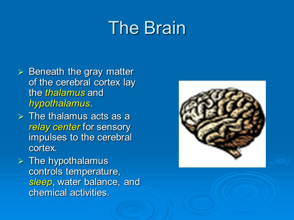The Brain  Beneath the gray matter of the cerebral cortex lay the thalamus and hypothalamus.
