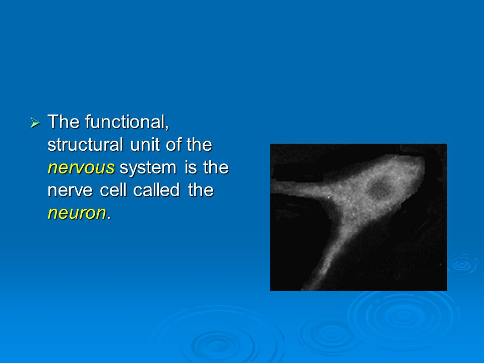  The functional, structural unit of the nervous system is the nerve cell called the neuron.