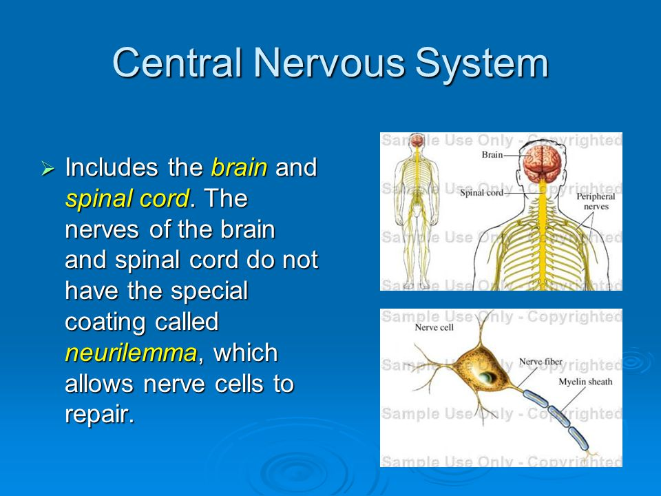 Central Nervous System  Includes the brain and spinal cord.