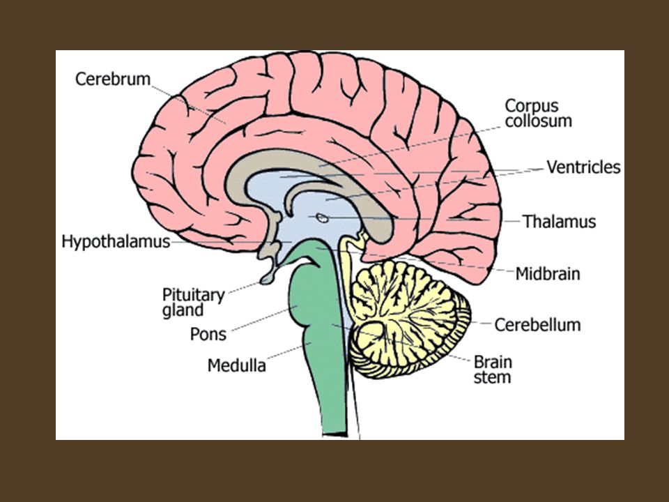 The Mammalian Brain 93 The Central Nervous System P Ppt Download