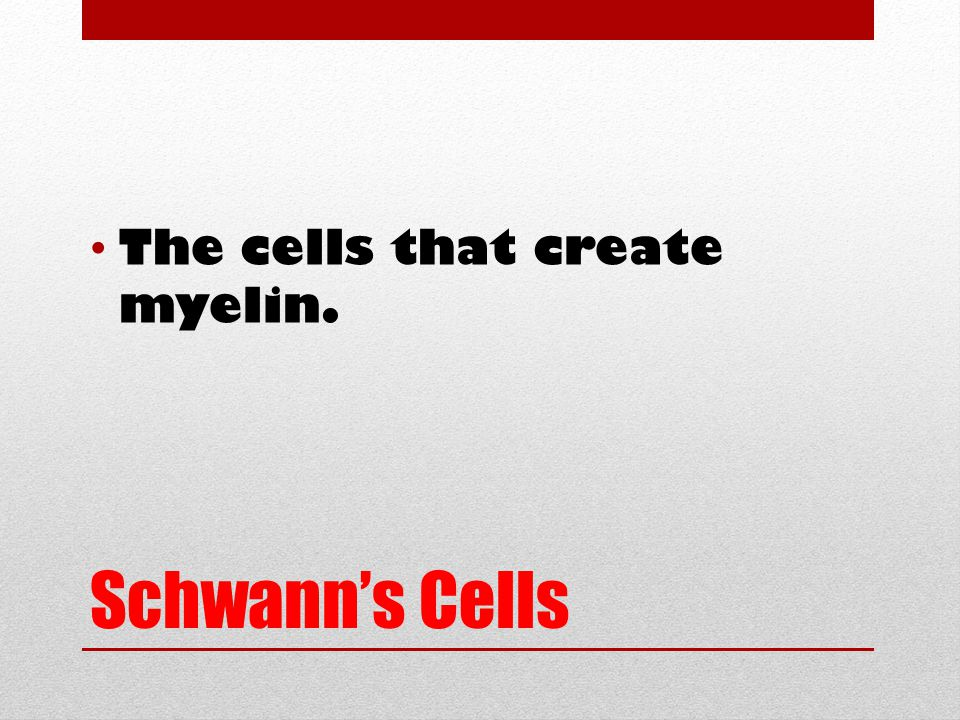 Schwann's Cells The cells that create myelin.