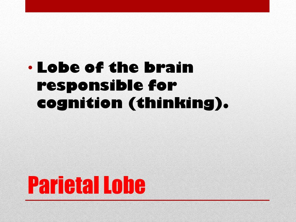 Parietal Lobe Lobe of the brain responsible for cognition (thinking).