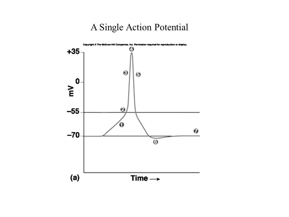 A Single Action Potential