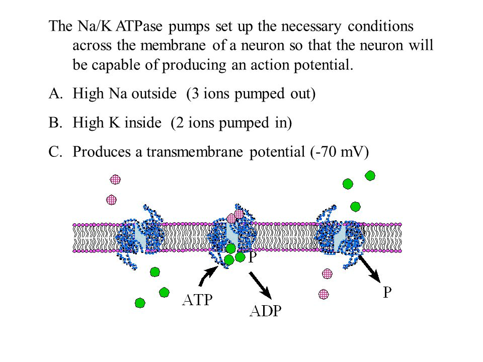 The Na/K ATPase pumps set up the necessary conditions across the membrane of a neuron so that the neuron will be capable of producing an action potential.