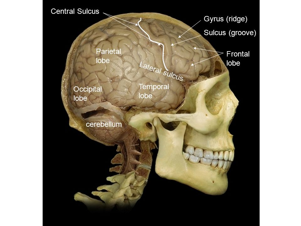 Gyrus (ridge) Sulcus (groove) Central Sulcus Frontal lobe Lateral sulcus Temporal lobe Parietal lobe Occipital lobe cerebellum