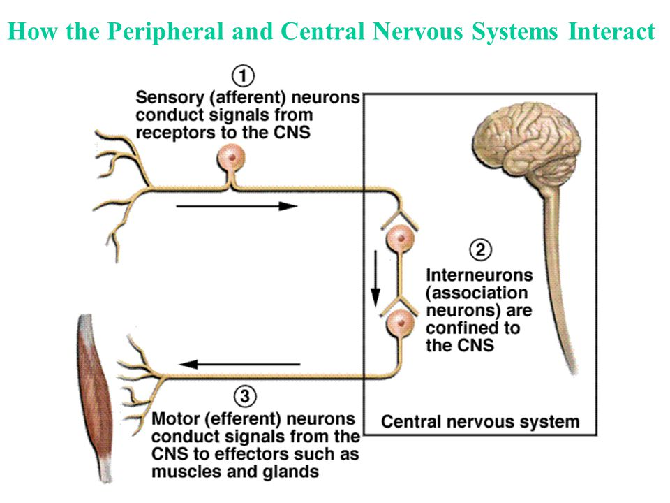 How the Peripheral and Central Nervous Systems Interact