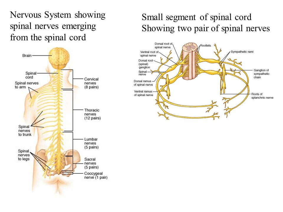 Nervous System showing spinal nerves emerging from the spinal cord Small segment of spinal cord Showing two pair of spinal nerves
