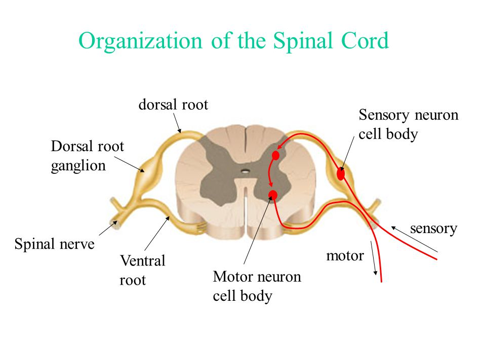 Spinal nerve dorsal root Dorsal root ganglion sensory motor Sensory neuron cell body Motor neuron cell body Organization of the Spinal Cord Ventral root