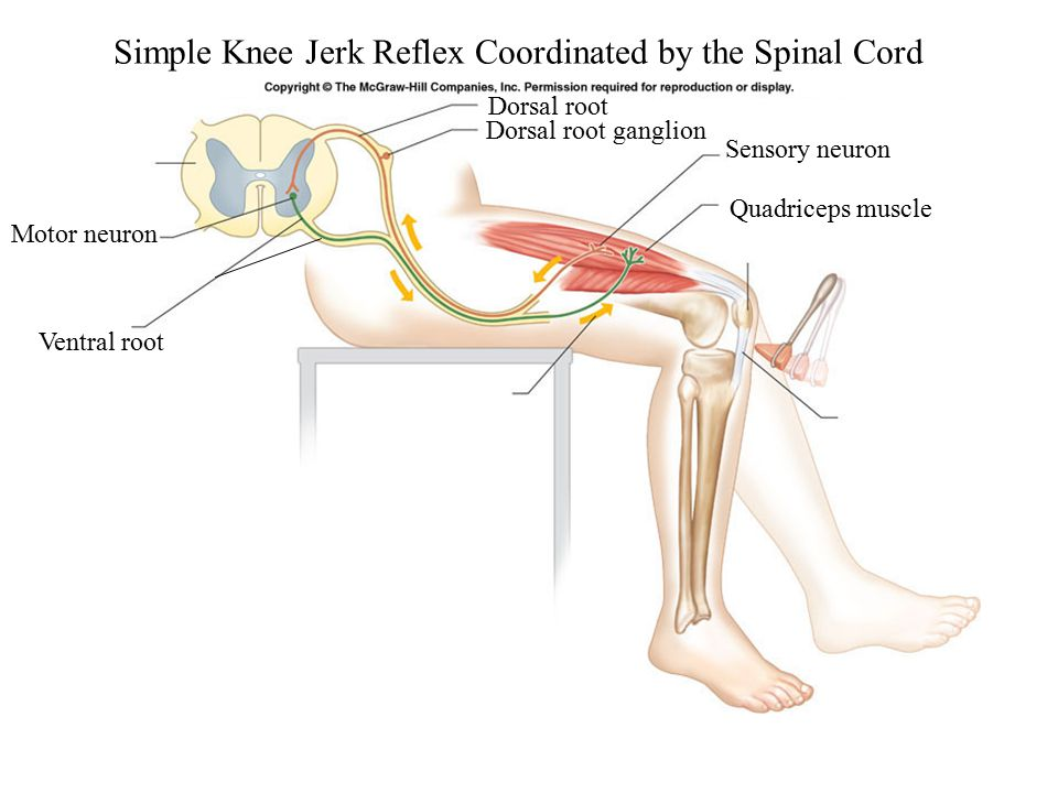 Simple Knee Jerk Reflex Coordinated by the Spinal Cord Sensory neuron Quadriceps muscle Motor neuron Dorsal root ganglion Dorsal root Ventral root