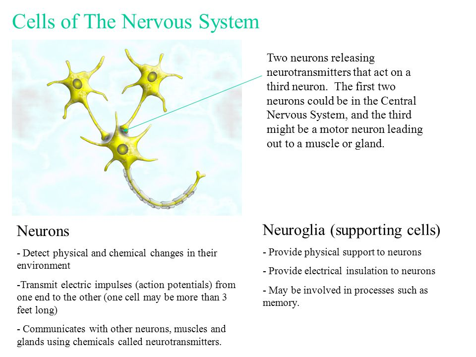 Cells of The Nervous System Neurons - Detect physical and chemical changes in their environment -Transmit electric impulses (action potentials) from one end to the other (one cell may be more than 3 feet long) - Communicates with other neurons, muscles and glands using chemicals called neurotransmitters.
