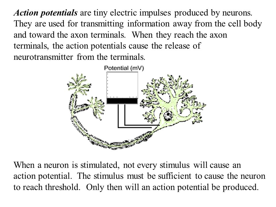Action potentials are tiny electric impulses produced by neurons.
