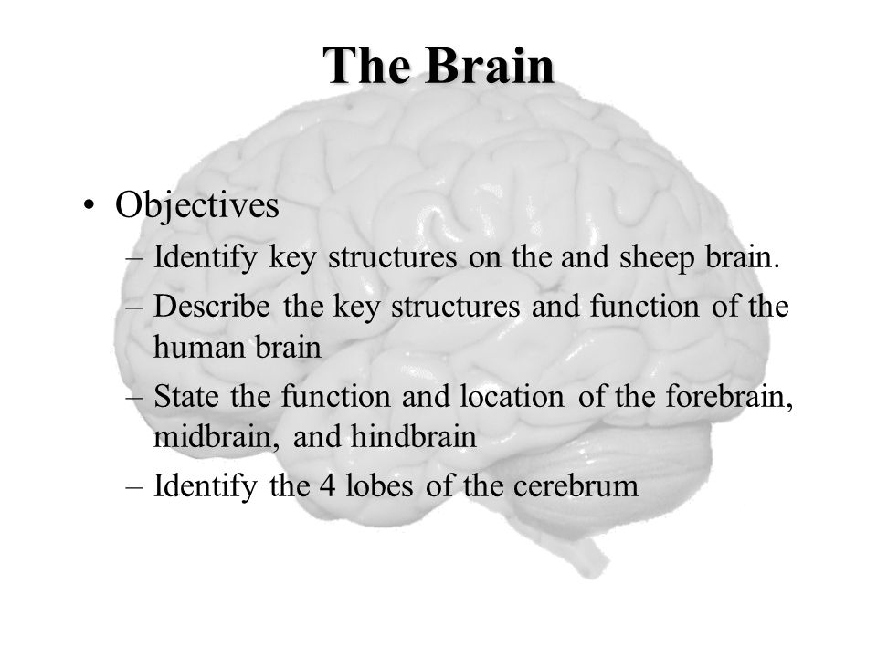 Sheep Brain Lab April 2 6 2012 Master Watermark Image Ppt Download