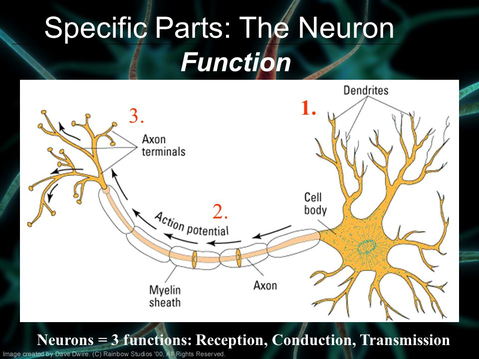 Specific Parts: The Neuron Function Neurons = 3 functions: Reception, Conduction, Transmission 1.