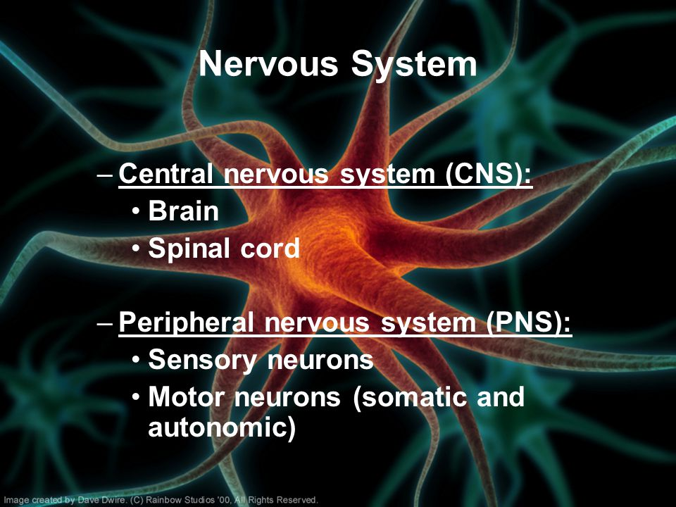 Nervous System –Central nervous system (CNS): Brain Spinal cord –Peripheral nervous system (PNS): Sensory neurons Motor neurons (somatic and autonomic)