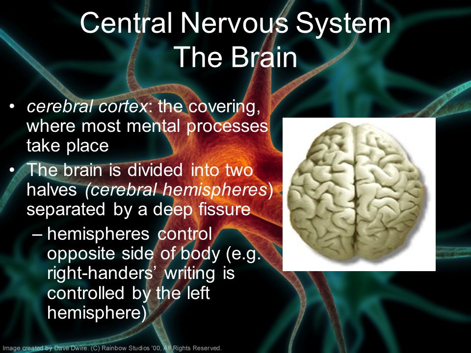 Central Nervous System The Brain cerebral cortex: the covering, where most mental processes take place The brain is divided into two halves (cerebral hemispheres) separated by a deep fissure –hemispheres control opposite side of body (e.g.