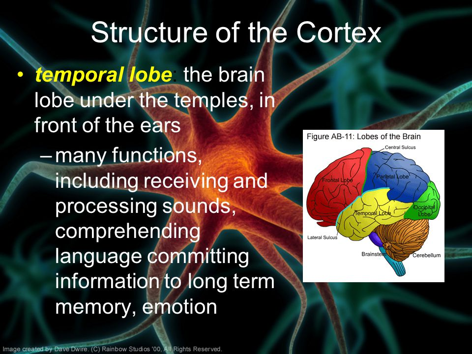 Structure of the Cortex temporal lobe: the brain lobe under the temples, in front of the ears –many functions, including receiving and processing sounds, comprehending language committing information to long term memory, emotion