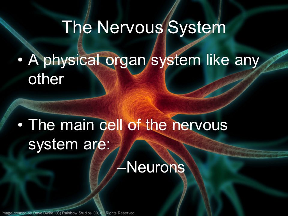 The Nervous System A physical organ system like any other The main cell of the nervous system are: –Neurons