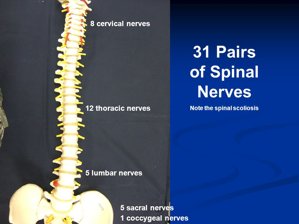 8 cervical nerves 12 thoracic nerves 5 lumbar nerves 5 sacral nerves 1 coccygeal nerves 31 Pairs of Spinal Nerves Note the spinal scoliosis