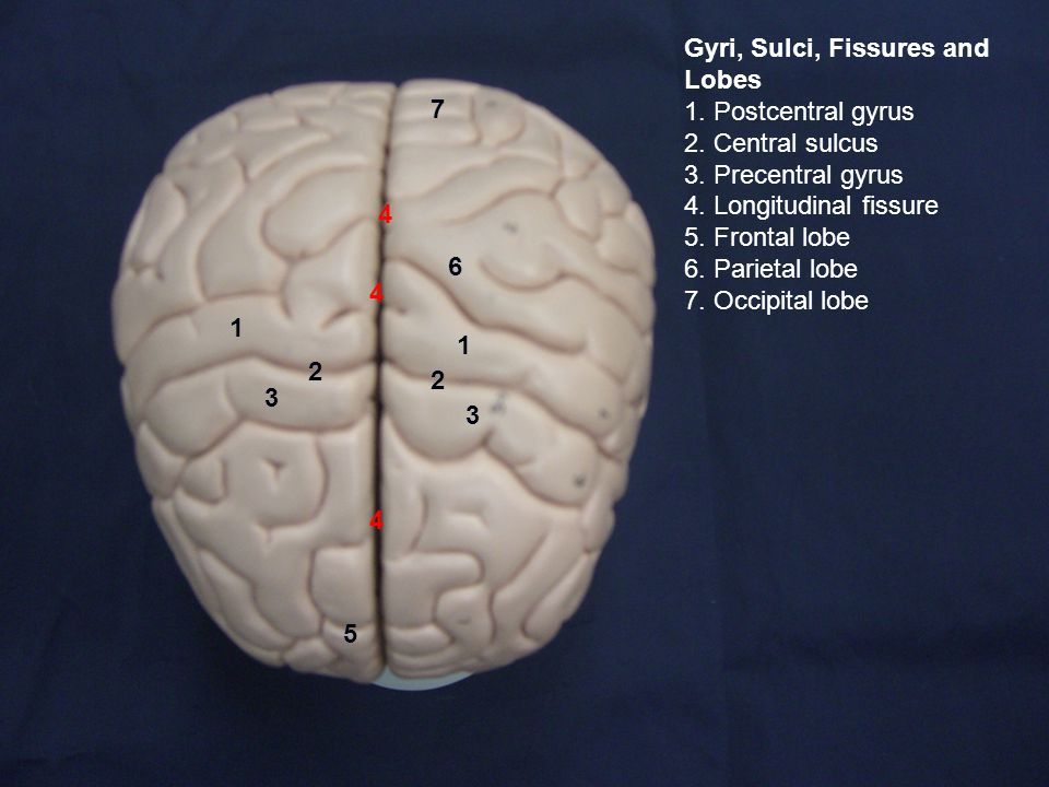 3 2 1 1 2 3 4 4 4 Gyri, Sulci, Fissures and Lobes 1.