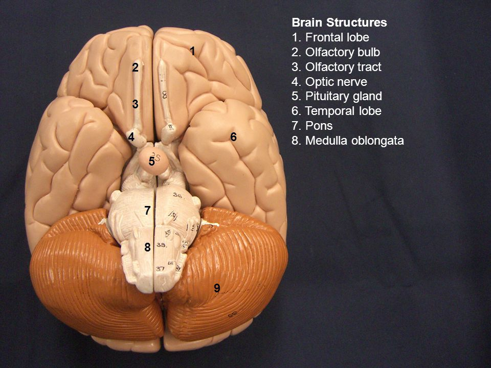 1 6 9 8 7 5 2 3 4 Brain Structures 1. Frontal lobe 2.