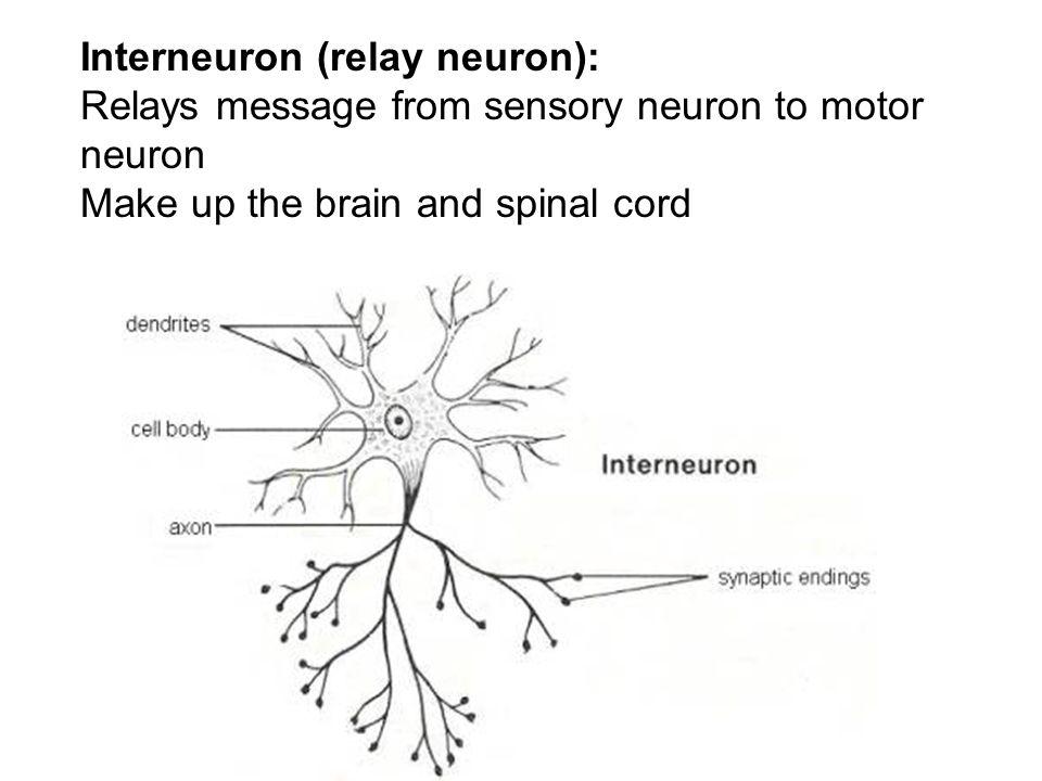 Relay Neuron Diagram - Srq.dappermanandvan.uk • on parrot minikit, parrot zik, parrot radio, parrot 9200 installation, parrot mki9100, parrot ipod cable,