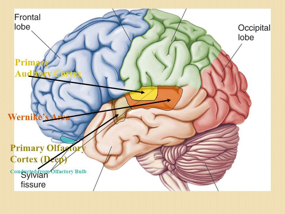 Cerebral Lobes Burcu Ormeci Md Assistant Proffessor Depatrment Of Rhslideplayer: Primary Smell Cortex Location At Gmaili.net