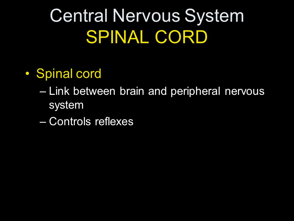 Central Nervous System SPINAL CORD Spinal cord –Link between brain and peripheral nervous system –Controls reflexes