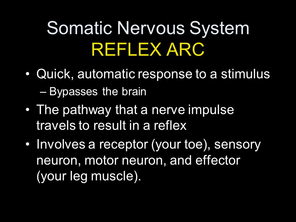 Somatic Nervous System REFLEX ARC Quick, automatic response to a stimulus –Bypasses the brain The pathway that a nerve impulse travels to result in a reflex Involves a receptor (your toe), sensory neuron, motor neuron, and effector (your leg muscle).
