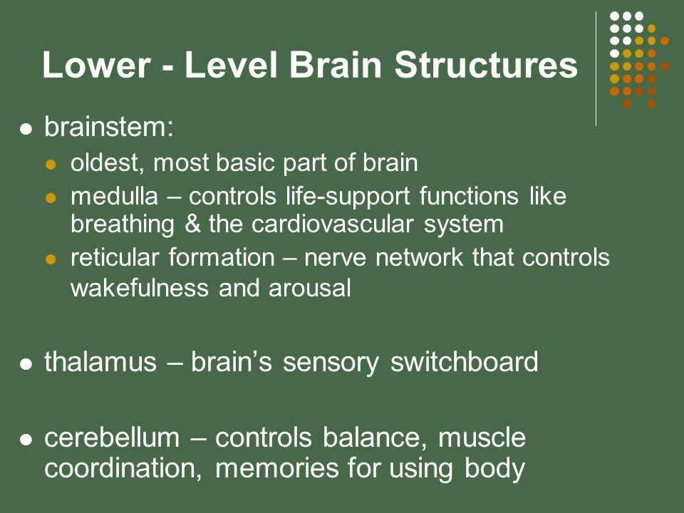 Lower - Level Brain Structures brainstem: oldest, most basic part of brain medulla – controls life-support functions like breathing & the cardiovascular system reticular formation – nerve network that controls wakefulness and arousal thalamus – brain's sensory switchboard cerebellum – controls balance, muscle coordination, memories for using body