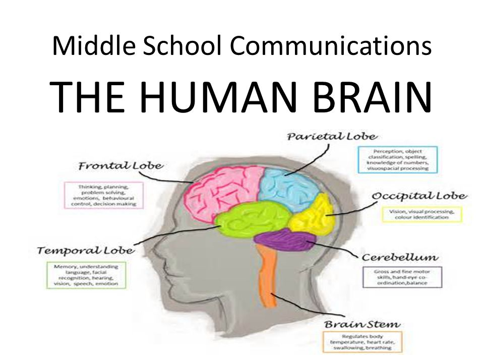 Middle School Communications The Human Brain Parts Of The Cerebrum