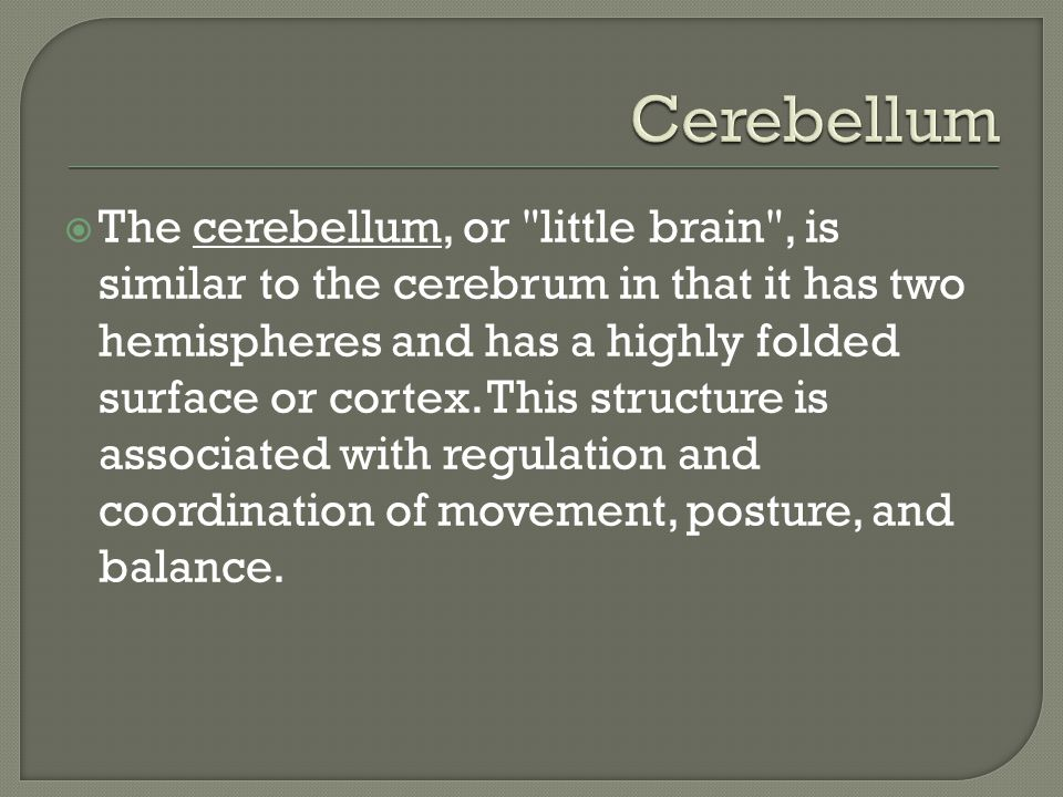  The cerebellum, or little brain , is similar to the cerebrum in that it has two hemispheres and has a highly folded surface or cortex.