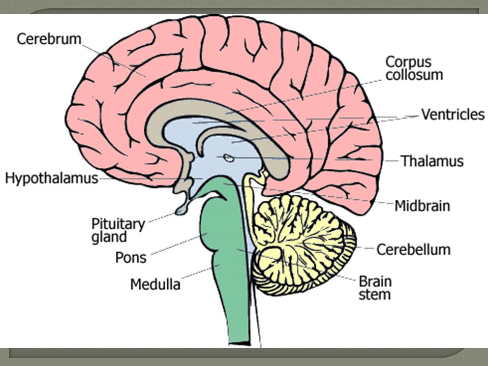 The cerebrum or cortex is the largest part of the human brain 16 the cerebellum or little brain is similar to the cerebrum in that it has two hemispheres and has a highly folded surface or cortex ccuart Choice Image