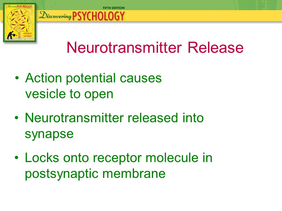 Action potential causes vesicle to open Neurotransmitter Release Neurotransmitter released into synapse Locks onto receptor molecule in postsynaptic membrane