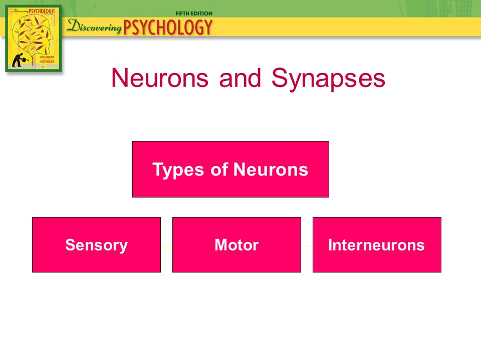 Neurons and Synapses Types of Neurons SensoryMotor Interneurons