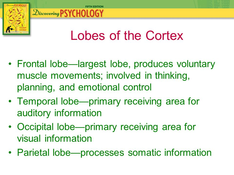Frontal lobe—largest lobe, produces voluntary muscle movements; involved in thinking, planning, and emotional control Temporal lobe—primary receiving area for auditory information Occipital lobe—primary receiving area for visual information Parietal lobe—processes somatic information Lobes of the Cortex